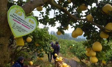 E-commerce helps Hubei farmers sell pomelo