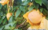 奉化高品质本地水蜜桃集中采摘 价格比往年略高