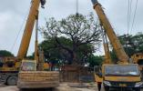 """温州125岁10米高大榕树""""搬家"""""""