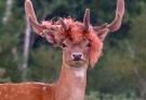 新时尚?英国雄鹿长出红色长发:实为缠绕捆绳垃圾令人痛心