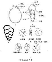 有孔虫壳的构造从简单到复杂