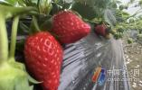 头茬地产草莓抢