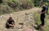 只因吸了一口,青田的生姜种植大户毁了致富路