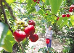 樱桃 丰产 农户增收