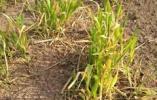 潍坊300亩麦苗一夜变黄村民损失惨重,农业部门正在调查