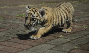 In pics: Bengal tiger cub in Bandung zoo, Indonesia