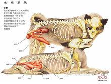 狗的生殖系统