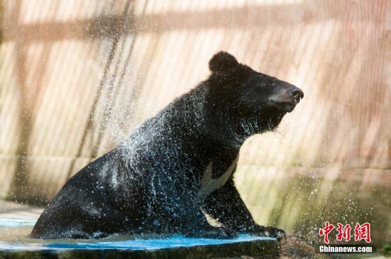 熊出没!90公斤黑熊在美国大学里徘徊 后被送归山林