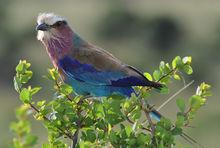 肯尼亚国鸟