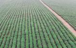 余杭瓶窑茶叶种植村恢复生产