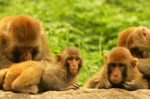 神农山的猴子