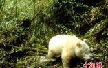全球首例!四川卧龙国家级自然保护区现白色大熊猫