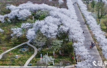 句容浮山樱花园早樱盛放堆云叠雪