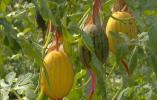 白色的茄子、七彩的辣椒,千余种新奇蔬菜等你解锁