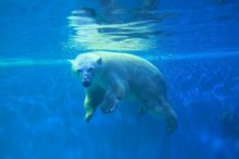 泉城海洋极地世界北极熊