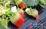 """尚田草莓""""抢鲜""""上市 50元一斤 进棚采摘再等大半个月"""