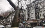 """南京中华路又见""""车撞树"""",法桐树干被撞撕裂"""