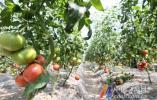水果番茄大量上市
